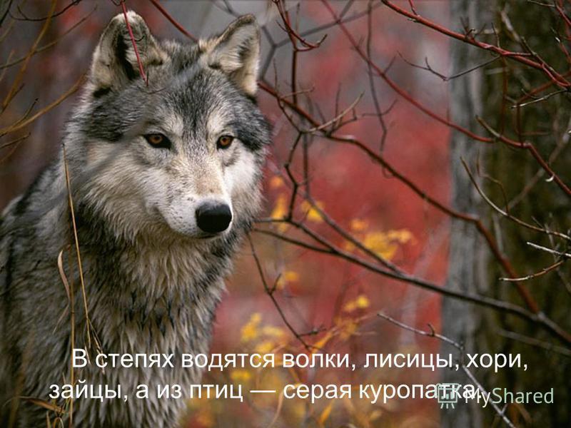 В степях водятся волки, лисицы, хори, зайцы, а из птиц серая куропатка.