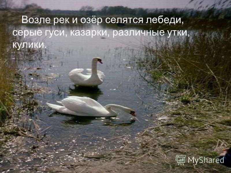 Возле рек и озёр селятся лебеди, серые гуси, казарки, различные утки, кулики.