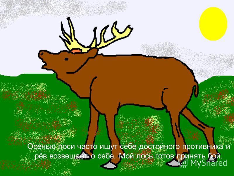 Осенью лоси часто ищут себе достойного противника и рёв возвещает о себе. Мой лось готов принять бой.