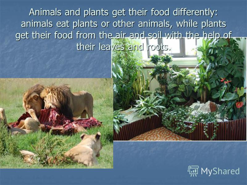 Animals and plants get their food differently: animals eat plants or other animals, while plants get their food from the air and soil with the help of their leaves and roots.