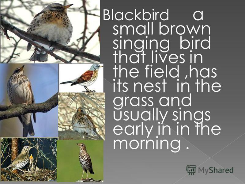 Blackbird a small brown singing bird that lives in the field,has its nest in the grass and usually sings early in in the morning.