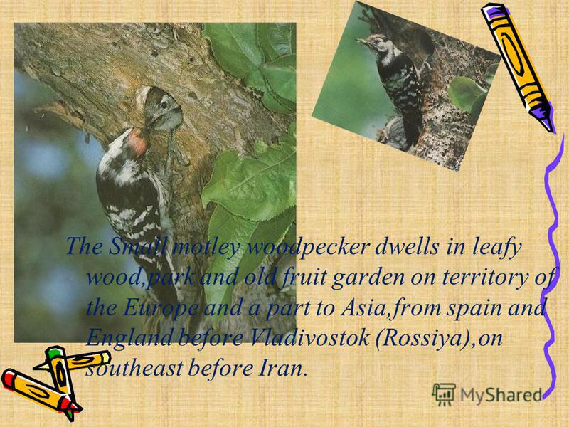 The Small motley woodpecker dwells in leafy wood,park and old fruit garden on territory of the Europe and a part to Asia,from spain and England before Vladivostok (Rossiya),on southeast before Iran.