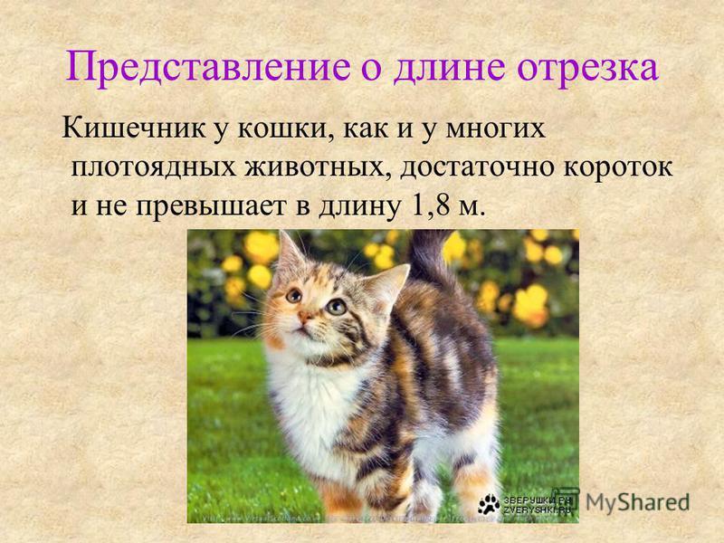 Представление о длине отрезка Кишечник у кошки, как и у многих плотоядных животных, достаточно короток и не превышает в длину 1,8 м.
