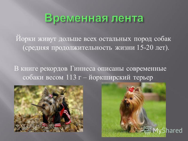 Йорки живут дольше всех остальных пород собак ( средняя продолжительность жизни 15-20 лет ). В книге рекордов Гиннеса описаны современные собаки весом 113 г – йоркширский терьер