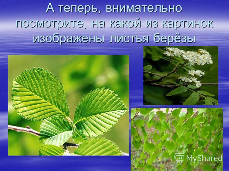 А теперь, внимательно посмотрите, на какой из картинок изображены листья берёзы