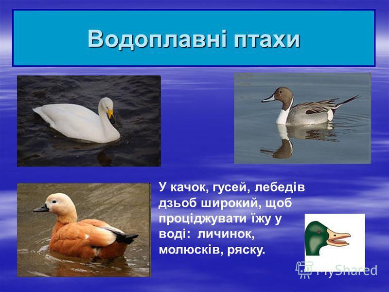 Водоплавні птахи У качок, гусей, лебедів дзьоб широкий, щоб проціджувати їжу у воді: личинок, молюсків, ряску.