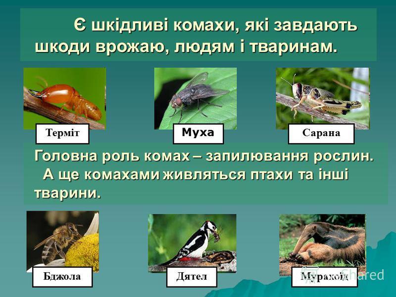 Є шкідливі комахи, які завдають шкоди врожаю, людям і тваринам. Є шкідливі комахи, які завдають шкоди врожаю, людям і тваринам. Головна роль комах – запилювання рослин. А ще комахами живляться птахи та інші тварини. Головна роль комах – запилювання р