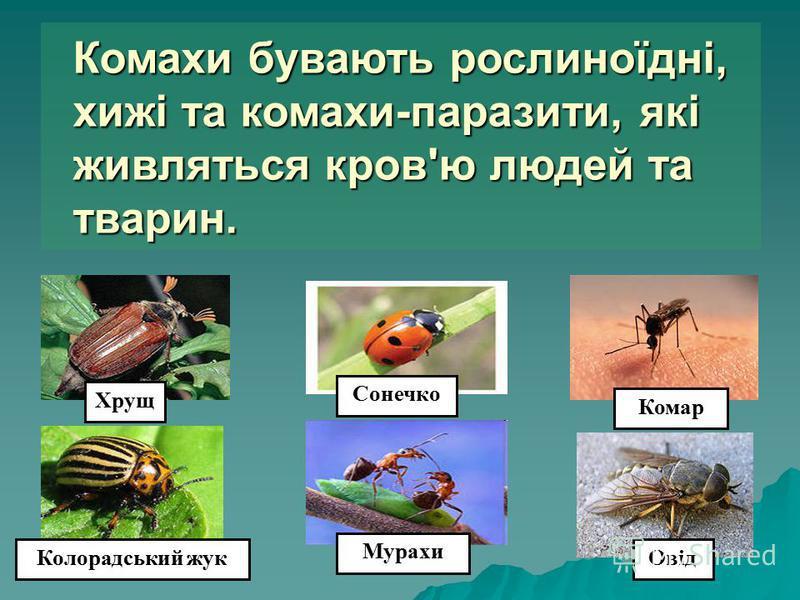 Комахи бувають рослиноїдні, хижі та комахи-паразити, які живляться кров'ю людей та тварин. Хрущ Колорадський жук Мурахи Сонечко Комар Овід