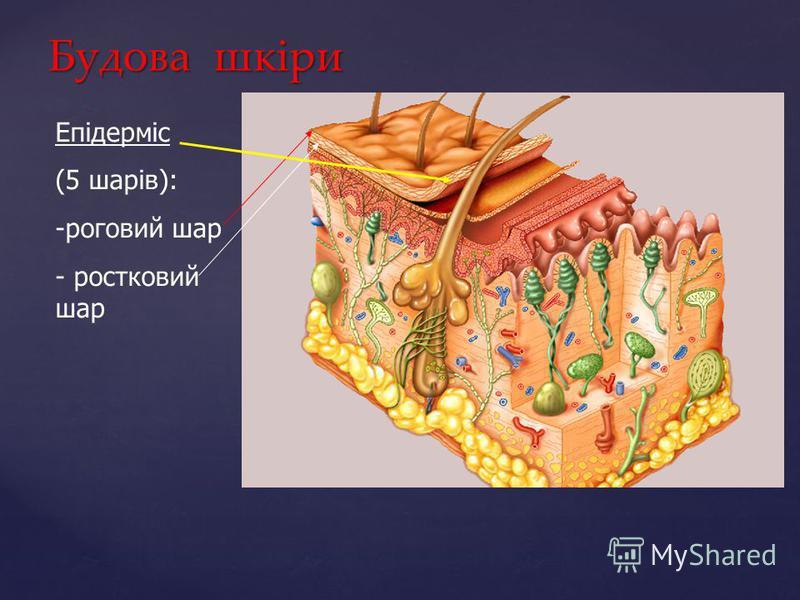 Будова шкіри Епідерміс (5 шарів): -роговий шар - ростковий шар