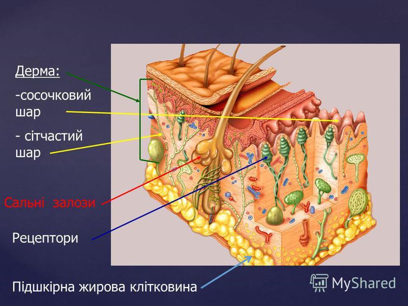Дерма: -сосочковий шар - сітчастий шар Сальні залози Рецептори Підшкірна жирова клітковина
