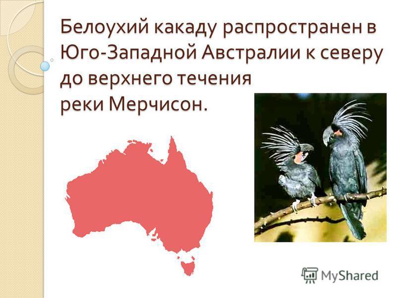 Белоухий какаду распространен в Юго - Западной Австралии к северу до верхнего течения реки Мерчисон.