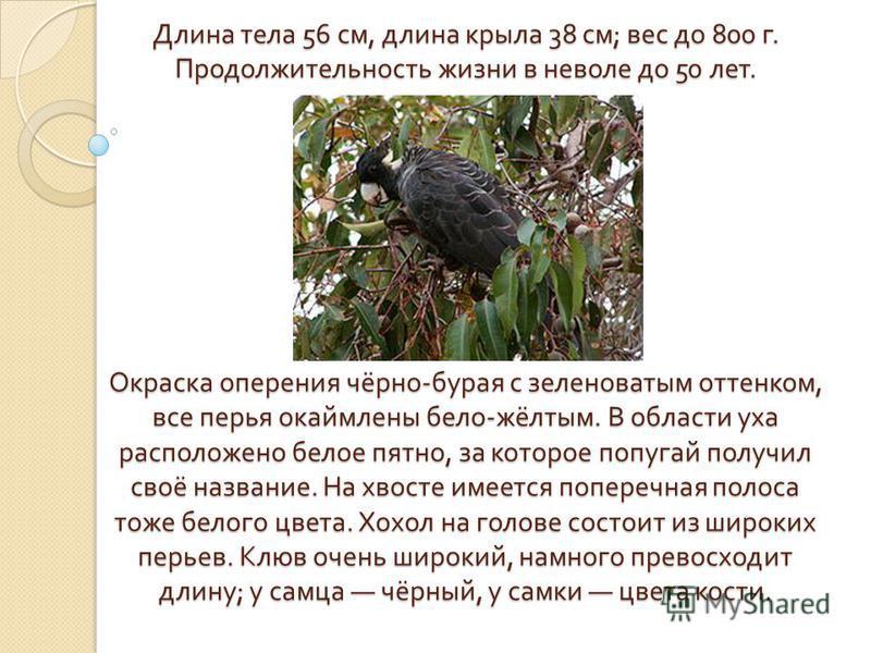 Длина тела 56 см, длина крыла 38 см ; вес до 800 г. Продолжительность жизни в неволе до 50 лет. Окраска оперения чёрно - бурая с зеленоватым оттенком, все перья окаймлены бело - жёлтым. В области уха расположено белое пятно, за которое попугай получи
