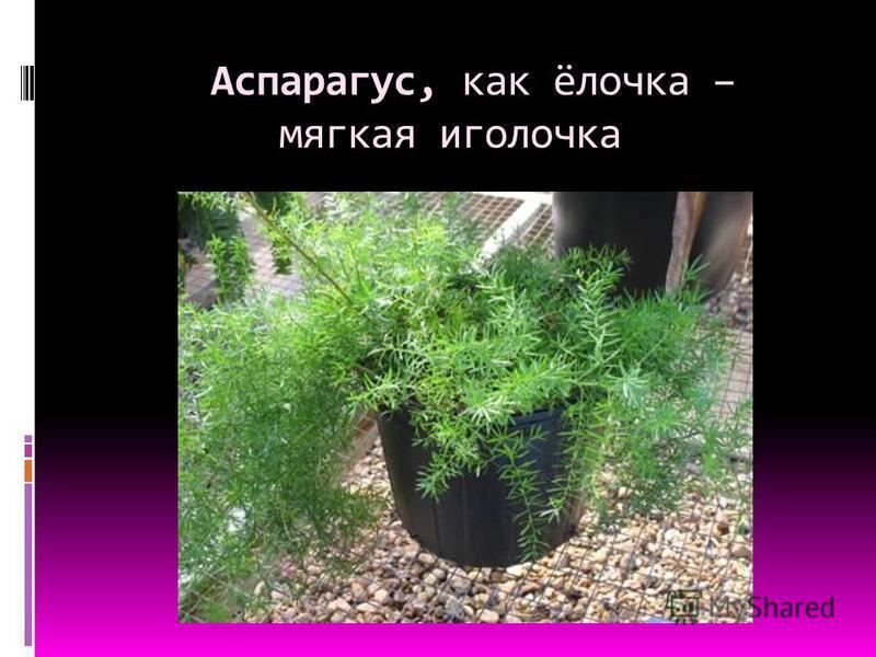 Аспарагус, как ёлочка – мягкая иголочка