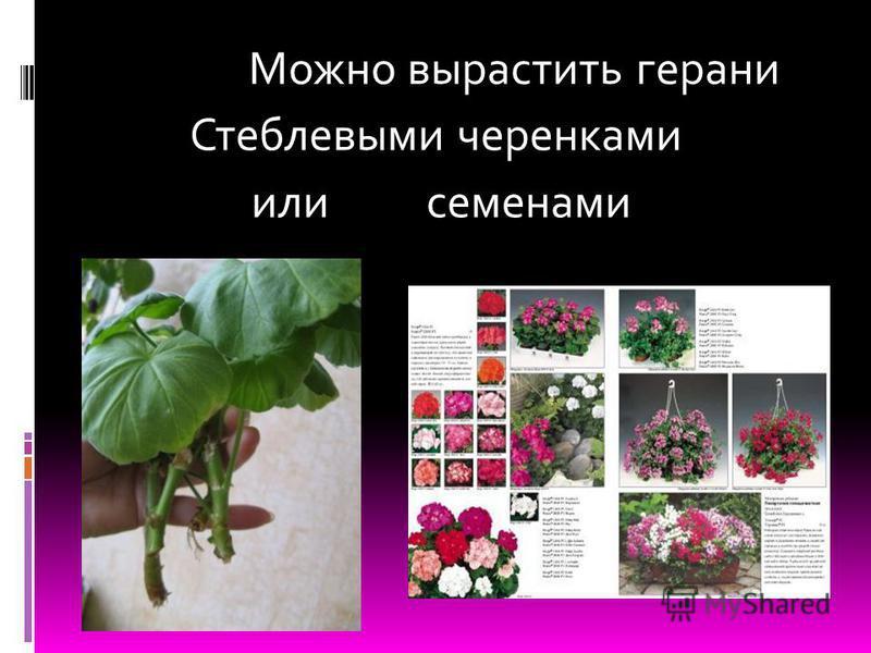 Можно вырастить герани Стеблевыми черенками или семенами