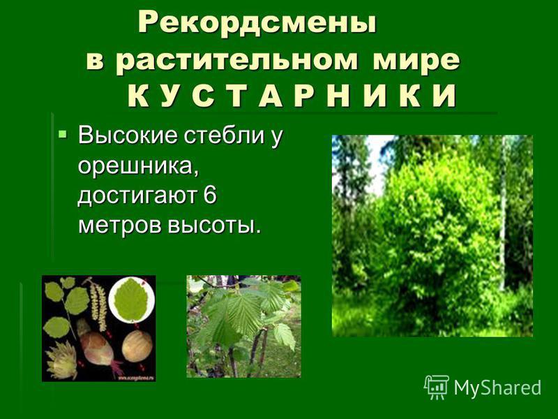 Рекордсмены в растительном мире К У С Т А Р Н И К И Рекордсмены в растительном мире К У С Т А Р Н И К И Высокие стебли у орешника, достигают 6 метров высоты. Высокие стебли у орешника, достигают 6 метров высоты.