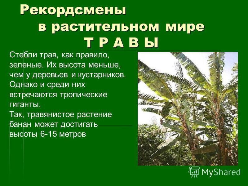 Рекордсмены в растительном мире Т Р А В Ы Рекордсмены в растительном мире Т Р А В Ы Стебли трав, как правило, зеленые. Их высота меньше, чем у деревьев и кустарников. Однако и среди них встречаются тропические гиганты. Так, травянистое растение банан