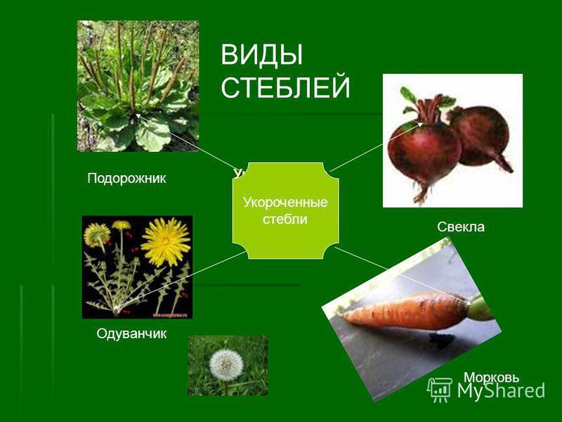 Укороченные стебли стебли Подорожник Одуванчик Свекла Морковь Укороченные стебли ВИДЫ СТЕБЛЕЙ