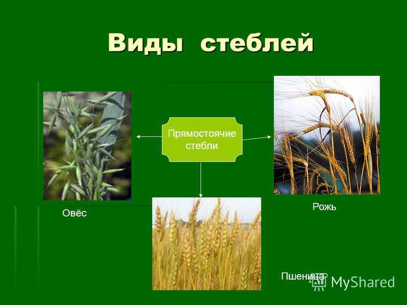 Виды стеблей Виды стеблей Прямостоячие стебли Овёс Пшеница Рожь