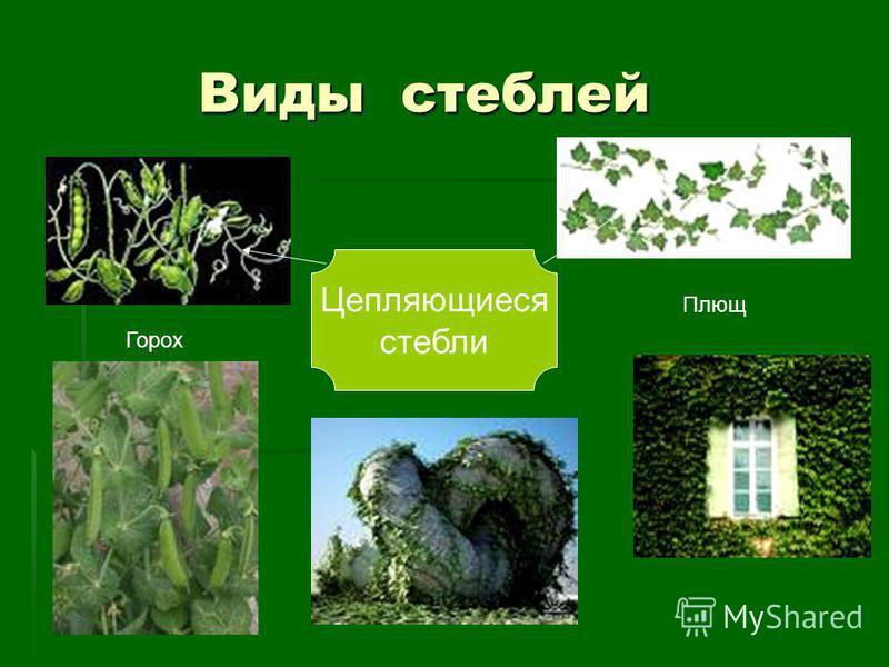 Виды стеблей Виды стеблей Цепляющиеся стебли Горох Плющ