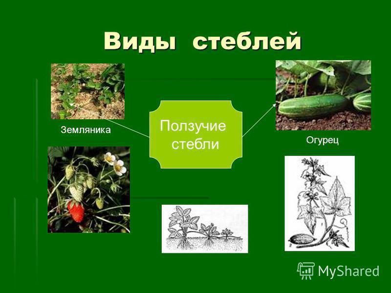 Виды стеблей Виды стеблей Ползучие стебли Земляника Огурец