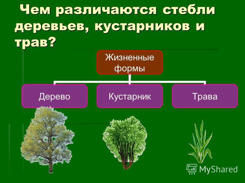 Чем различаются стебли деревьев, кустарников и трав? Чем различаются стебли деревьев, кустарников и трав? Жизненные формы Дерево КустарникТрава
