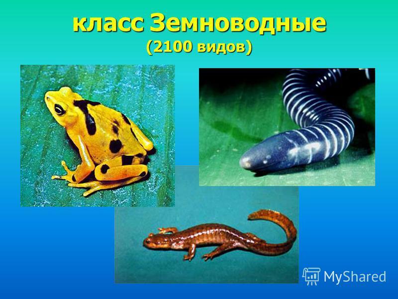 класс Земноводные (2100 видов)