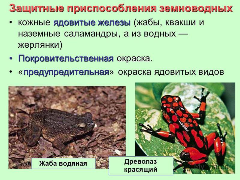 Защитные приспособления земноводных ядовитые железы кожные ядовитые железы (жабы, квакши и наземные саламандры, а из водных жерлянки) Покровительственная окраска Покровительственная окраска. предупредительная«предупредительная» окраска ядовитых видов