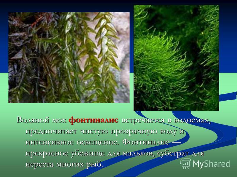 Водяной мох фонтиналис встречается в водоемах, предпочитает чистую прозрачную воду и интенсивное освещение. Фонтиналис прекрасное убежище для мальков, субстрат для нереста многих рыб.
