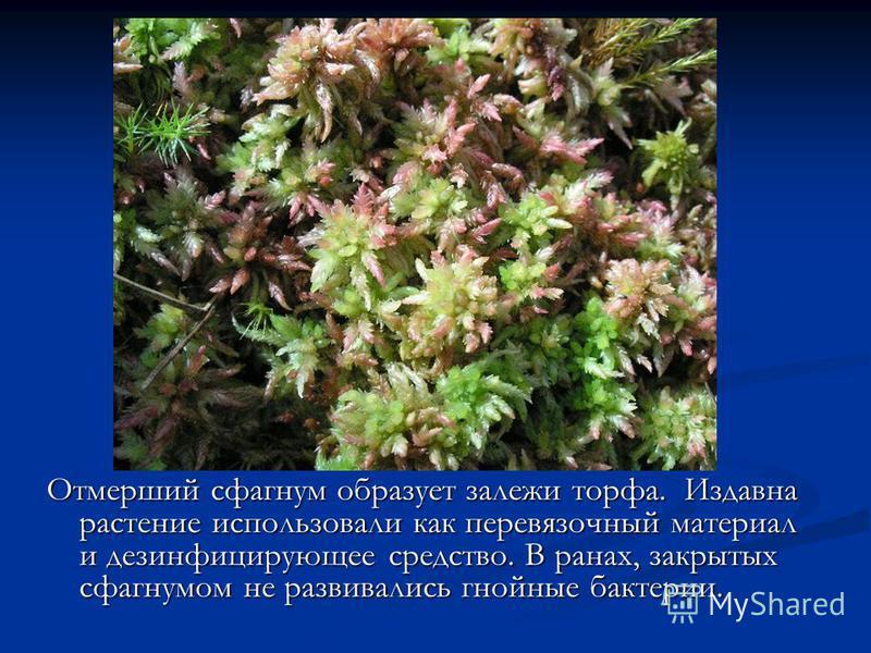 Отмерший сфагнум образует залежи торфа. Издавна растение использовали как перевязочный материал и дезинфицирующее средство. В ранах, закрытых сфагнумом не развивались гнойные бактерии.