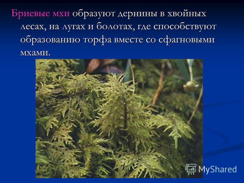 Бриевые мхи образуют дернины в хвойных лесах, на лугах и болотах, где способствуют образованию торфа вместе со сфагновыми мхами.