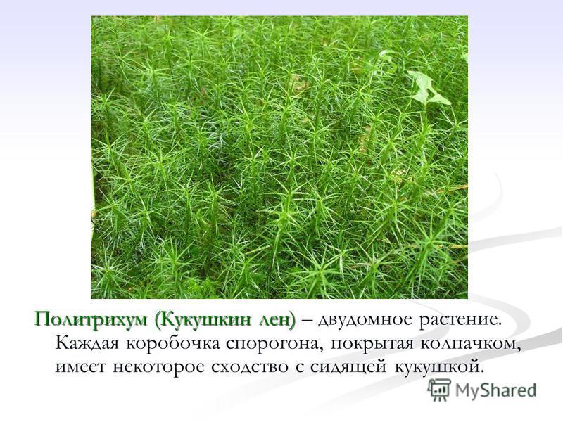 Политрихум (Кукушкин лен) – двудомное растение. Каждая коробочка спорогона, покрытая колпачком, имеет некоторое сходство с сидящей кукушкой.