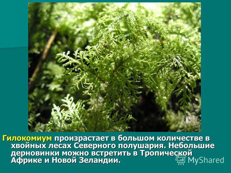 Гилокомиум произрастает в большом количестве в хвойных лесах Северного полушария. Небольшие дер новинки можно встретить в Тропической Африке и Новой Зеландии.