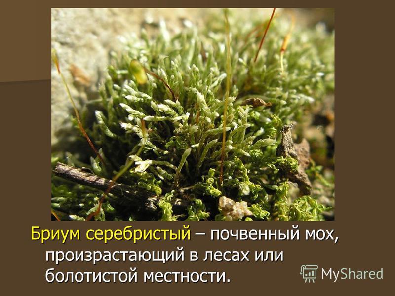 Бриум серебристый – почвенный мох, произрастающий в лесах или болотистой местности.