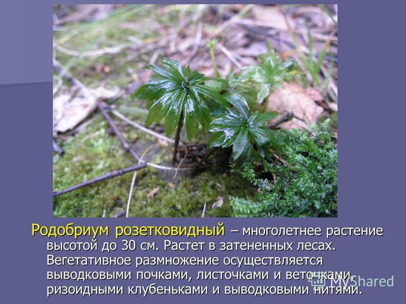 Родобриум розетковидный – многолетнее растение высотой до 30 см. Растет в затененных лесах. Вегетативное размножение осуществляется выводковыми почками, листочками и веточками, ризоидными клубеньками и выводковыми нитями.