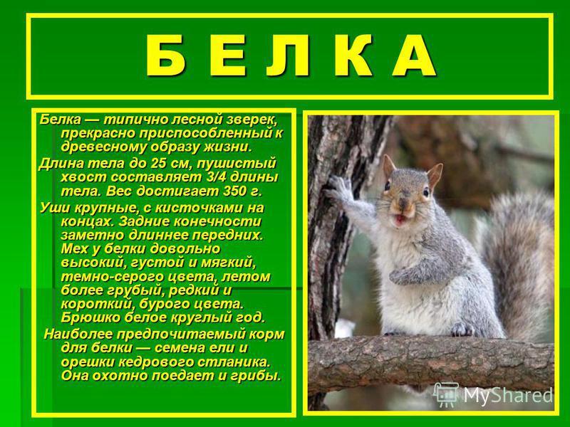 Б Е Л К А Белка типично лесной зверек, прекрасно приспособленный к древесному образу жизни. Длина тела до 25 см, пушистый хвост составляет 3/4 длины тела. Вес достигает 350 г. Уши крупные, с кисточками на концах. Задние конечности заметно длиннее пер