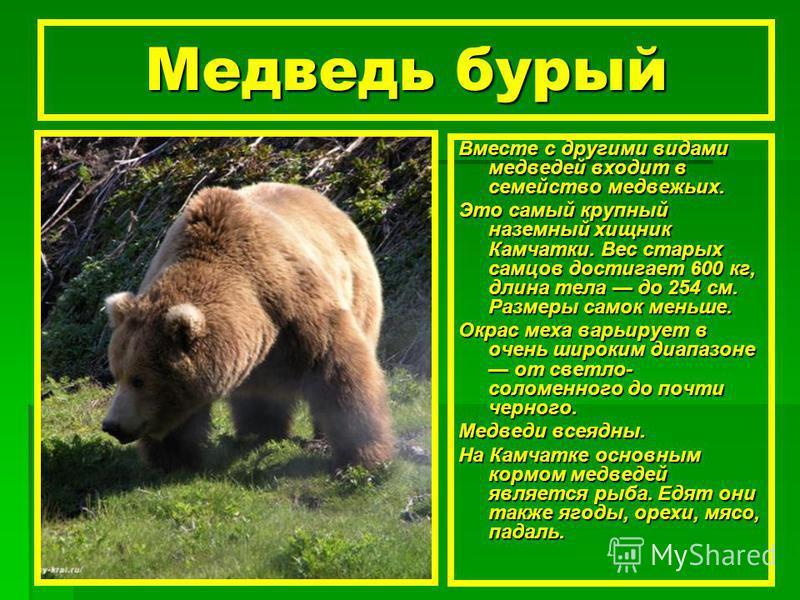 Медведь бурый Вместе с другими видами медведей входит в семейство медвежьих. Это самый крупный наземный хищник Камчатки. Вес старых самцов достигает 600 кг, длина тела до 254 см. Размеры самок меньше. Окрас меха варьирует в очень широким диапазоне от