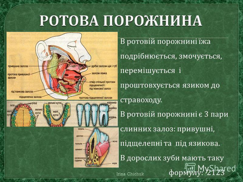 В ротовій порожнині їжа подрібнюється, змочується, перемішується і проштовхується язиком до стравоходу. В ротовій порожнині є 3 пари слинних залоз: привушні, підщелепні та під язикова. В дорослих зуби мають таку формулу: 2123 Irina Chichuk