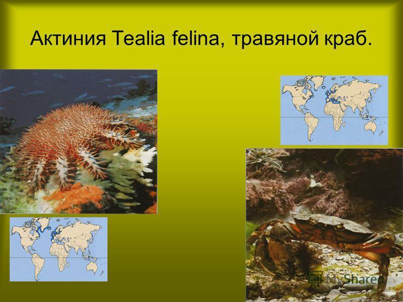 Актиния Tealia felina, травяной краб.