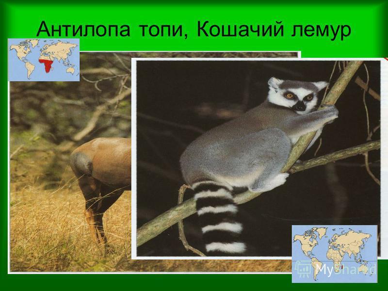 Антилопа топи, Кошачий лемур