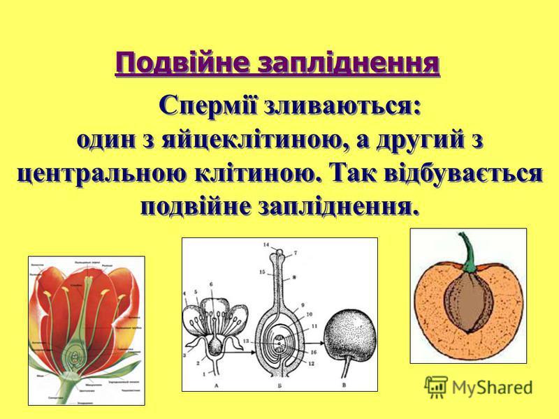 Спермії зливаються: один з яйцеклітиною, а другий з центральною клітиною. Так відбувається подвійне запліднення. Подвійне запліднення