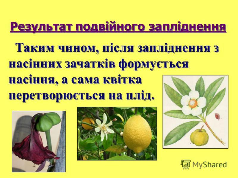 Таким чином, після запліднення з насінних зачатків формується насіння, а сама квітка перетворюється на плід. Результат подвійного запліднення