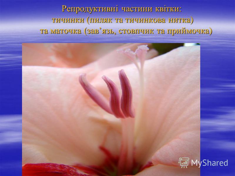 Репродуктивні частини квітки: тичинки (пиляк та тичинкова нитка) та маточка (завязь, стовпчик та приймочка) Репродуктивні частини квітки: тичинки (пиляк та тичинкова нитка) та маточка (завязь, стовпчик та приймочка)