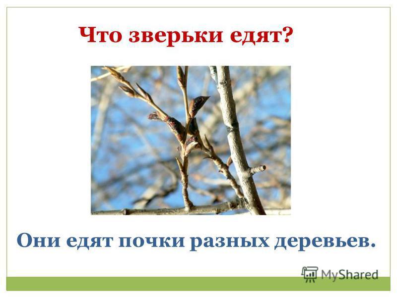 Что зверьки едят? Они едят почки разных деревьев.