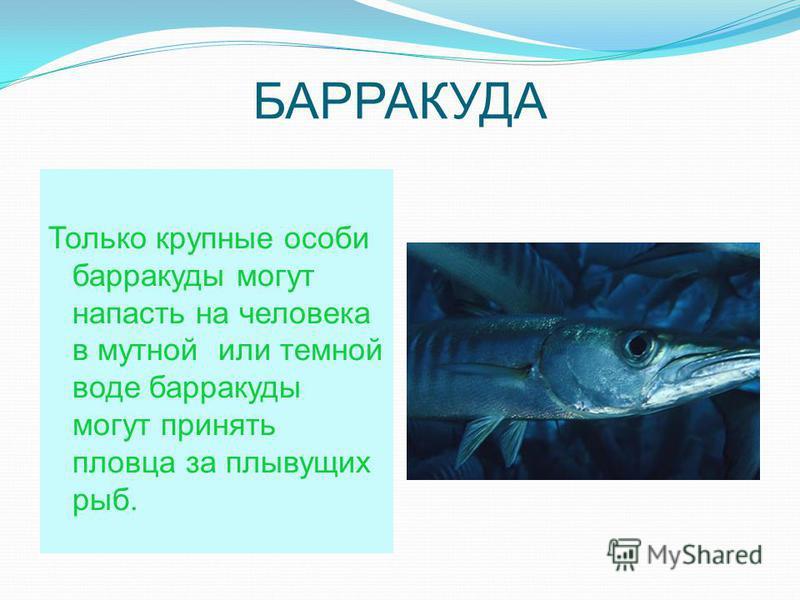 БАРРАКУДА Только крупные особи барракуды могут напасть на человека в мутной или темной воде барракуды могут принять пловца за плывущих рыб.