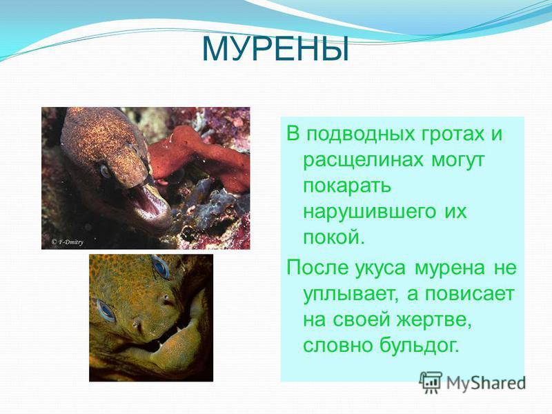 МУРЕНЫ В подводных гротах и расщелинах могут покарать нарушившего их покой. После укуса мурена не уплывает, а повисает на своей жертве, словно бульдог.