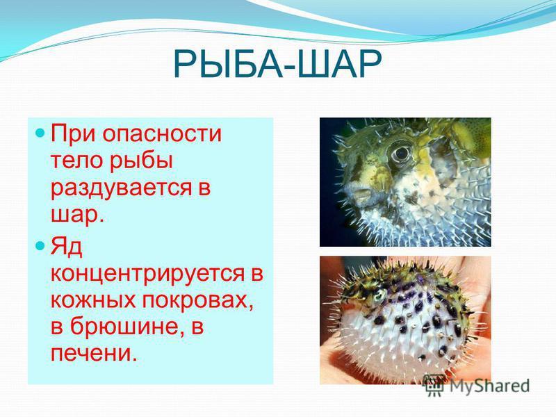 РЫБА-ШАР При опасности тело рыбы раздувается в шар. Яд концентрируется в кожных покровах, в брюшине, в печени.