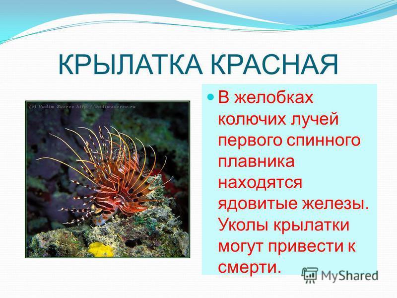 КРЫЛАТКА КРАСНАЯ В желобках колючих лучей первого спинного плавника находятся ядовитые железы. Уколы крылатки могут привести к смерти.