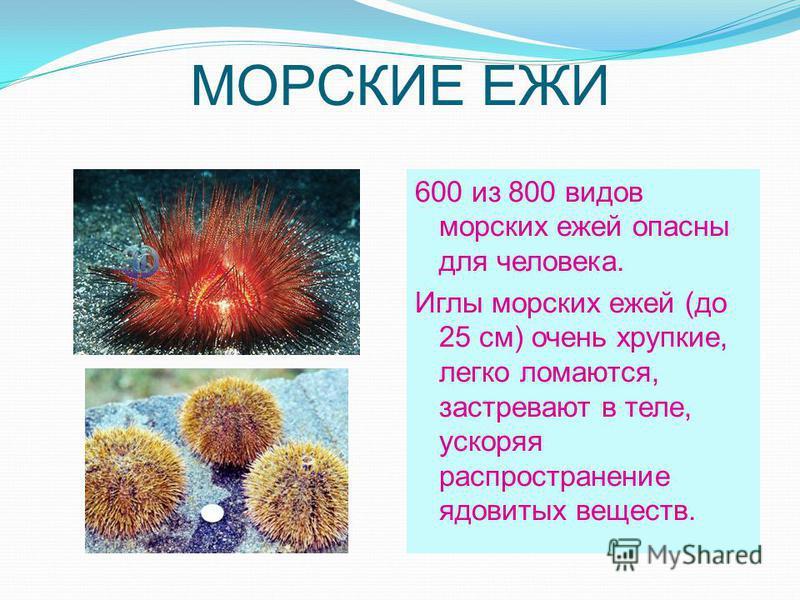 МОРСКИЕ ЕЖИ 600 из 800 видов морских ежей опасны для человека. Иглы морских ежей (до 25 см) очень хрупкие, легко ломаются, застревают в теле, ускоряя распространение ядовитых веществ.
