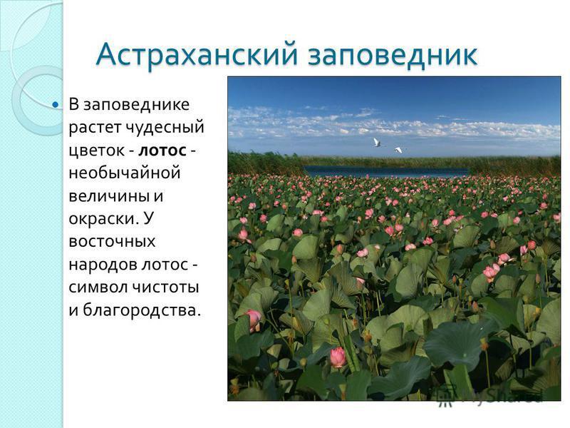 Астраханский заповедник В заповеднике растет чудесный цветок - лотос - необычайной величины и окраски. У восточных народов лотос - символ чистоты и благородства.