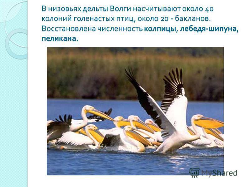В низовьях дельты Волги насчитывают около 40 колоний голенастых птиц, около 20 - бакланов. Восстановлена численность колпицы, лебедя - шипуна, пеликана.